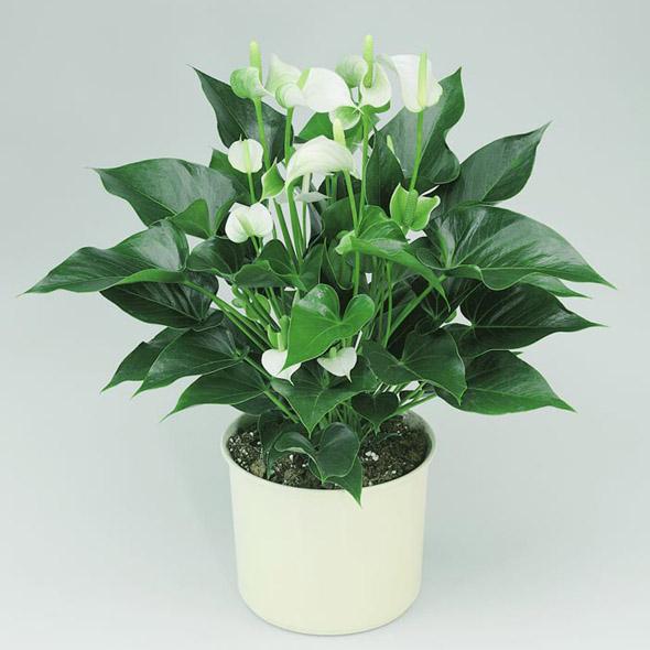 Tanaman Umbi Anthurium putih