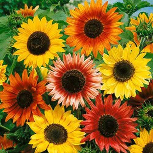 Bunga Sunflower Autumn Beauty