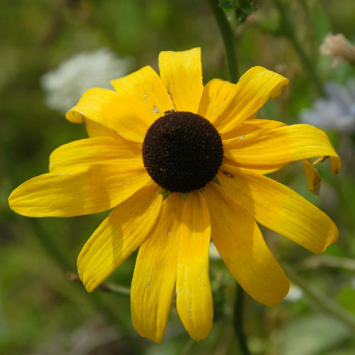 Bunga Black Eyed Susan