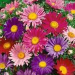 Keanekaragaman Bunga Aster yang Menawan