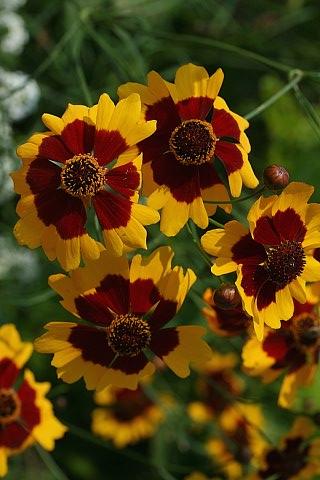 Bunga Coreopsis