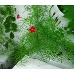 Cypress Vine Red – 10 Biji
