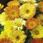Daisy Calendula Mix – 50 Biji