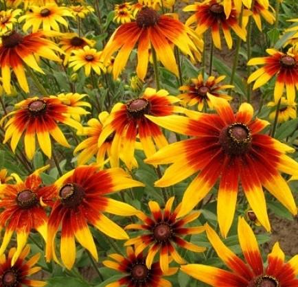 Bunga Daisy Gloriosa