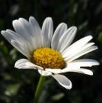 Kulit Cantik dan Sehat dengan Khasiat Bunga Daisy