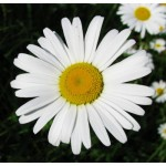 English Daisy – 100 Biji