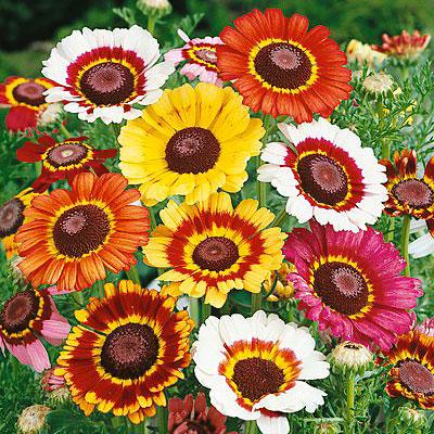 Bunga Daisy Painted