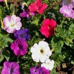 Petunia Mix – 100 Biji