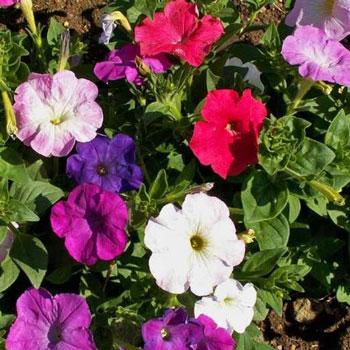 Bunga Dwarf Petunia Mix