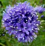 Globe Gillia Blue – 100 Biji