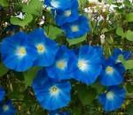 Heavenly Blue – 10 Biji