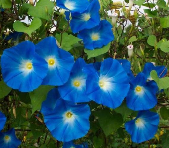 Bunga JMG Heavenly Blue