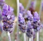 Ragam Khasiat Bunga Lavender