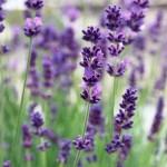 Lavender Vera – 30 Biji
