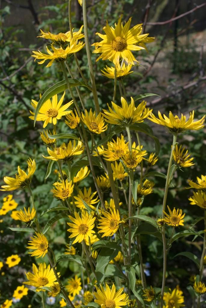 Bunga Matahari Maximilian