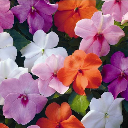 Bunga Mix Impatiens