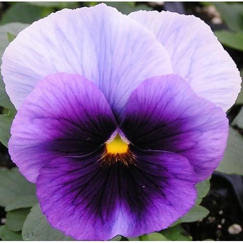 Bunga Pansy Beaconsfield