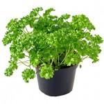 Khasiat Herbal Daun Parsley (Peterseli)