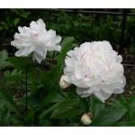 Keindahan Bunga Peony