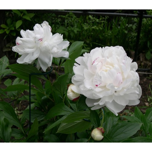 Bunga Peony White
