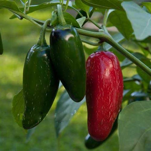 Pepper Hot Jalapeno