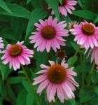 Purple Coneflower – 50 Biji