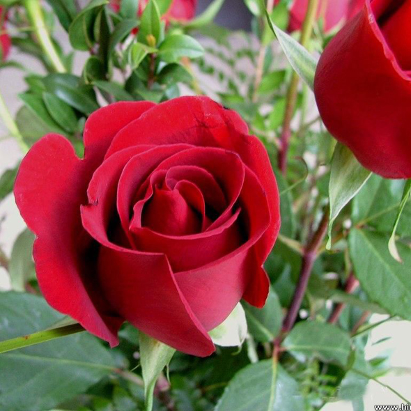 Tanaman Bunga Red Rose