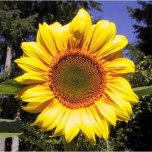 Sunflower Mammoth Grey – 10 Biji