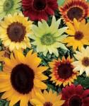 Cara Menanam Bunga Matahari Yang Efektif