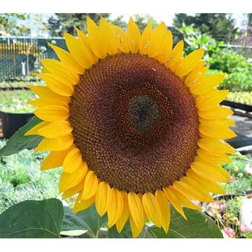 Bunga Matahari Taiyo