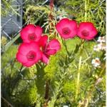 Scarlet Flax – 50 Biji