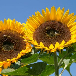 Sunflower Taiyo – 10 Biji