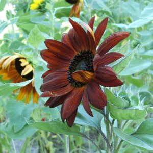 Sunflower Velvet Queen – 10 Biji