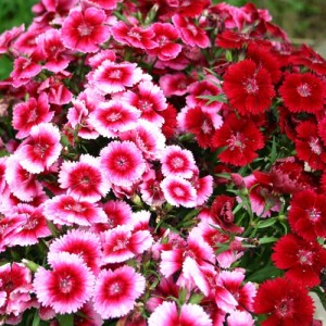 Sweet William – 50 Biji