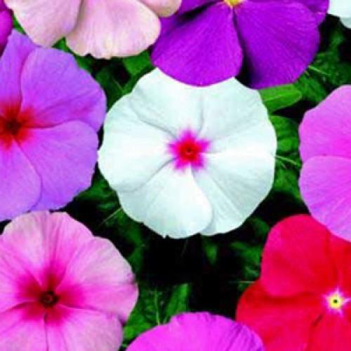Bunga Vinca Mix