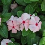 Vinca Cora Cascade Peach Blush – 30 Biji