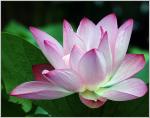 Beragam Manfaat Bunga Lotus Bagi Kesehatan