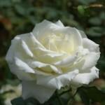 Arti dari Keindahan Bunga Mawar Putih