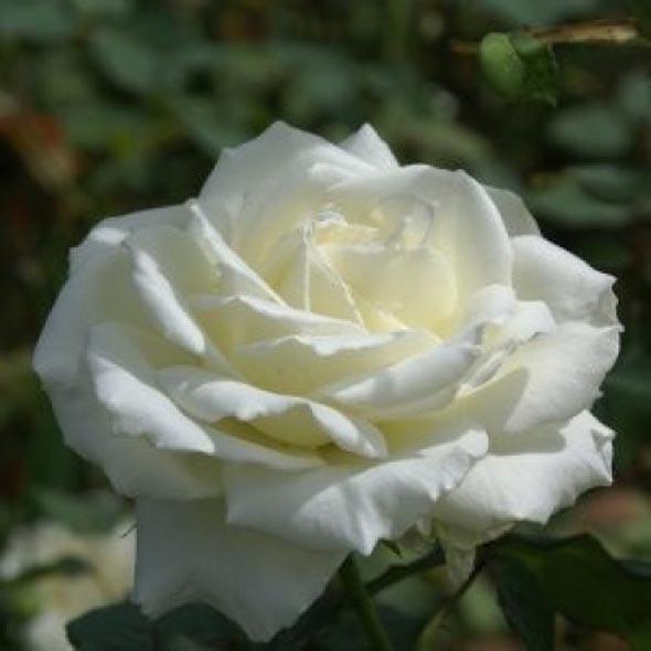Tanaman Bunga White Rose
