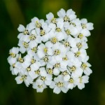 Yarrow White – 100 Biji