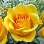 Cara Mudah Menanam Bunga Mawar Dalam Pot