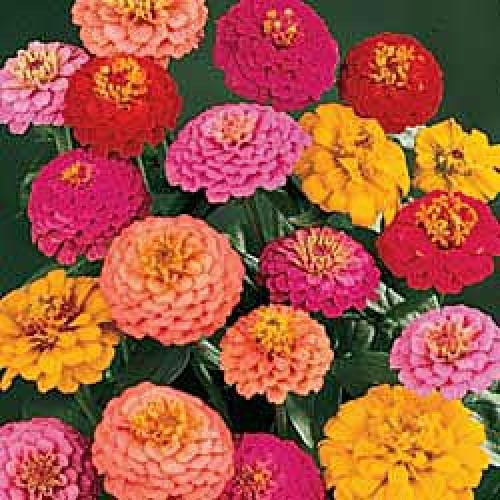 Bunga Zinnia California