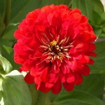 Zinnia Cherry Queen – 30 Biji