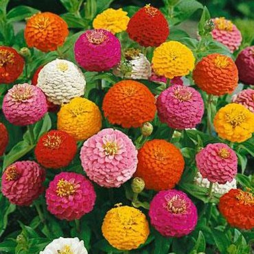 Bunga Zinnia Liliput