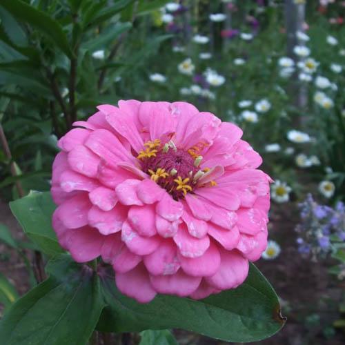 Bunga Zinnia Luminosa Pink
