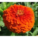 Zinnia Orange King – 30 Biji
