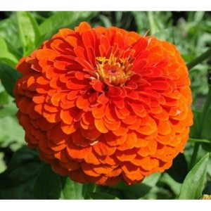 Zinnia Orange King – 30 Biji