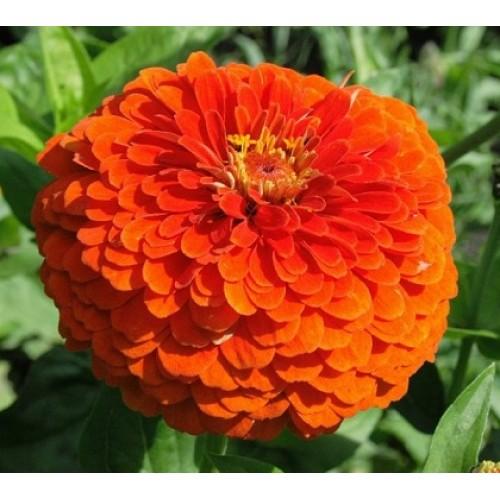 Bunga Zinnia Orange King