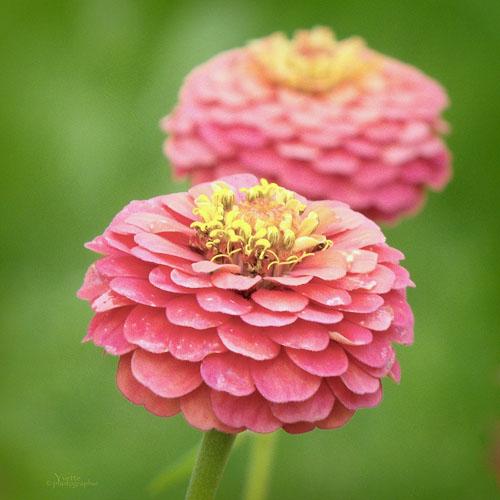 Bunga Zinnia Pompon