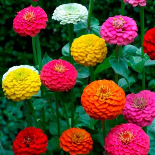 Bibit Bunga Zinnia Pompon